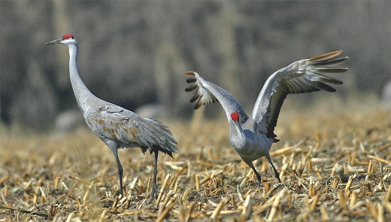 Rare Bird Fall 2006 Washington State Magazine