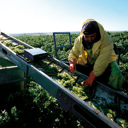 Sorting grapes at harvest. <em>Robert Hubner</em>