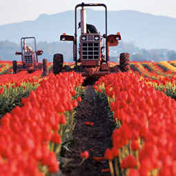 The Roozen tulip farm. (c) Laurence Chen