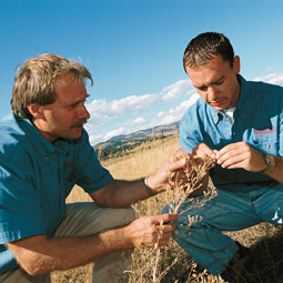 Since 1999, Dan Fagerlie, left, WSU entomologist Gary Piper, and others have released tens of thousands of predatory insects in Ferry and surrounding counties in a move to control the invasive diffuse knapweed and other noxious weeds. Dale Whaley, right, who recently received his master's degree in entomology working under Piper, is now the extension bioagent coordinator for Ferry County Extension. The bugs are voracious, and native bunchgrass is starting to return to areas cleared of knapweed. Robert Hubner