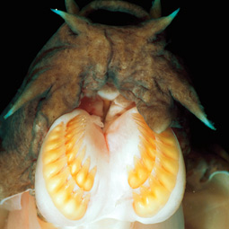 Jon Mallatt used genetic analysis to confirm his suspicions about the hagfish. Brandon D. Cole/Corbis