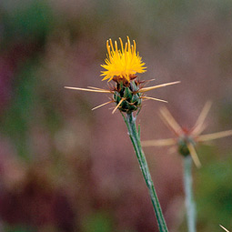 Yellow star thistle, Centauria solstitialis. Larry Hufford