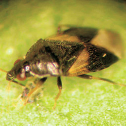 Minute pirate bug (Orius tristicolor), predator of mites and aphids. David James
