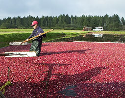 A worker at Cranguyma Farms in Long Beach, Washington, uses a wooden paddle to keep floating cranberries moving to a submerged pump head, which sucks the berries to a pipe and loads them into a waiting truck for shipping to the processing plant. Bill Wagner