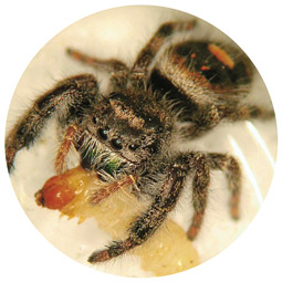 Jumping spider (<em>Phidippus sp.</em>).