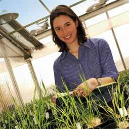 Graduate student Alysia Greco is studying the cost in yield to perennial wheats. She is also looking at how the plant partitions its energy during senescence.