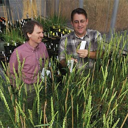 One of the major obstacles confronting plant pathologist Tim Murray and geneticist Steve Jones in their quest for perennial wheat is the time required for field-testing. Work int he greenhouse helps to reduce that time.