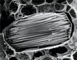 Calcium crystals in a specialized cell of the water lettuce called an 'idioblast.'