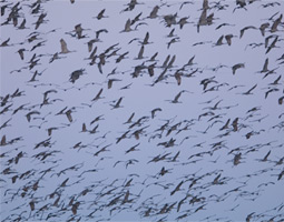 Sandhill cranes fill the air above their roost along the Platte River.