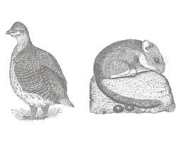 Paul Johsgard's pen-and-ink-drawings of an adult male sharp-tailed grouse and a bushy-tailed woodrat are typical of the illustrations he creates for his own books.
