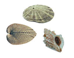 Three kinds of shells that can be found on Washington shores—and in the Archerd Collection at WSU Tri-Cities.