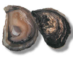 A mature oyster can filter 50 to 60 gallons of water a day.