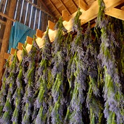 Lavender dries in the Angels' barn, which formerly housed cows. The Angels promised the previous owner that they would not take the land out of agriculture.