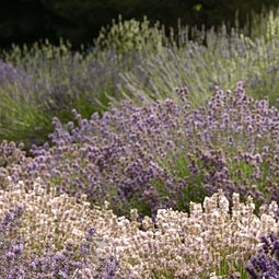 Hanna grows 120 varieties of lavender on her three acres.