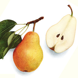 Bartlett pear, from <em>The Pears of New York,</em> U.P. Hedrick, et. al., New York Department of Agriculture, 1921.