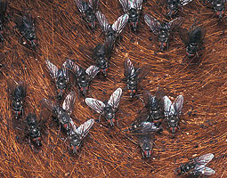 Horn flies. Courtesy United States Department of Agriculture.