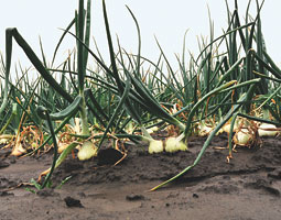 Walla Walla Sweet onions in the field. <em>By Chris Anderson.</em>