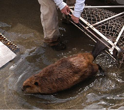 Releasing a beaver after relocation. Courtesy Steve Bondi.