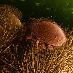 Blood-sucking mite Varroa destructor. Courtesy Erbe and Pooley/USDA, ARS, EMU