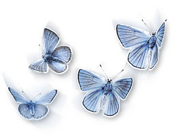 Fender's blue butterflies