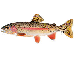 Northern California's McCloud River rainbow (Oncorhyncus mykiss stonei) has been bred and transplanted around the world. <em>Joseph Tomelleri</em>