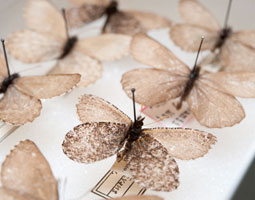 Melissa Arctic (<em>Oeneis melissa</em>) in the James Entomology Collection at WSU. <em>Robert Hubner</em>