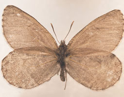 Melissa Arctic, dorsal view. From the WSU James Entomology Collection <em>Robert Hubner</em>