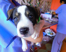 Chancho, a puppy treated by World Vets in Nicaragua. <em>Andrea Castillo '12</em>