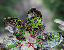 The madrone leaf blight can make trees look dead from afar, even if it is rarely fatal. <em>Courtesy Gary Chastagner</em>
