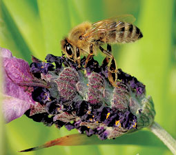New World Carniolan bee on lavender. <em>Kathy Keatley Garvey/UC Davis</em>