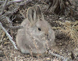 Pygmy rabbit. <em>Courtesy Utah Division of Wildlife Resources</em>