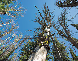 Whitebark pine killed by the mountain pine beetle in Yellowstone National Park. <em>Photo Bruce Andre</em>