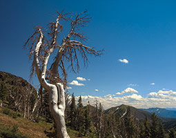 Dead whitebark pine in Yellowstone National Park. <em>Photo Bruce Andre</em>
