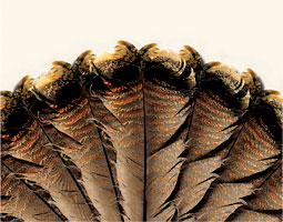 Turkey tail feathers illustration